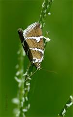 Silver Barred ~ Zilverstreep (Deltote bankiana)...