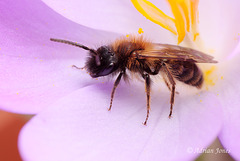 Andrena sp. (male)