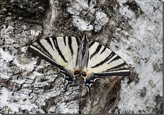 Iphiclides podalirius podalirius mâle.