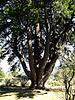Mystery conifer