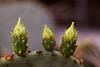 Knospen an der Opuntia macrocentra (Wilhelma)