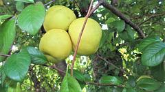 Japonica Apples.