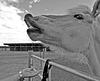 HFHH - Happy Friendly Haflinger Horse