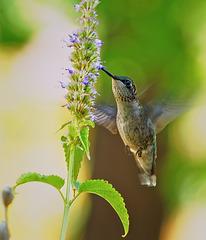 Hummingbird.  8067759