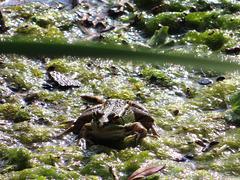 La rana encantada, 1