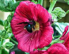 Carpenter Bee In The Hollyhock