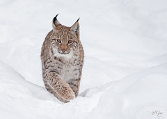 IMG 8457  Jeune Lynx