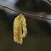 Gemeine Hasel (Corylus avellana) - Common Hazel