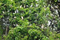 Guatemala, A Lot of Cattle Herons Nesting on a Tree