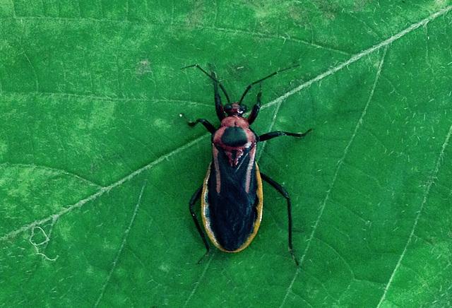 Brontostoma discus (An Assassin Bug)