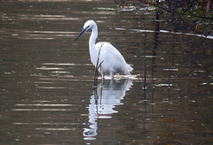 Little Egret on Chard Reservoir.