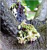Ilhéus : i fiori della pianta del cacao