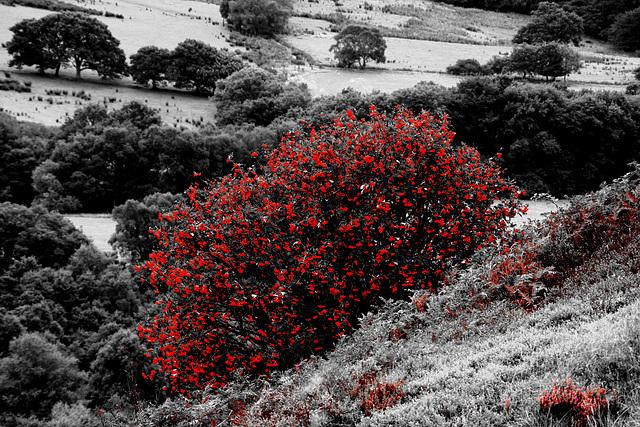 Rowan Berries and flowering heather