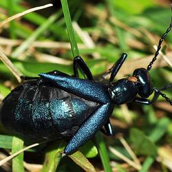 Meloe, oil beetle, St Bruno, Oct 2017
