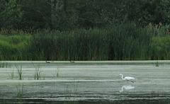 46/50 grande aigrette-great egret