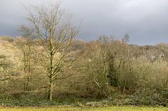 Whirlow Park winter beech 2
