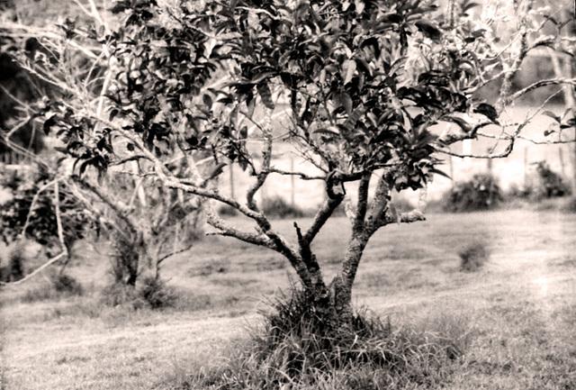 The Grape Fruit Tree