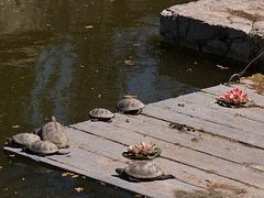 Черепашки отдыхают