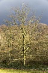 Whirlow Park winter beech