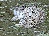 Snow leopard's baby