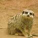 Meerkat (4)