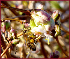 Un vrai bain de pollen... le saviez-vous,