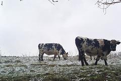 Vaches normandes sous la neige