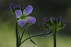 Cuckooflower ..