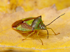 Birch Shieldbug (Elasmostethus interstinctus )