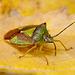Birch Shieldbug (Elasmostethus interstinctus )