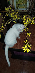 Mimi and forsythia - her first Spring experience!