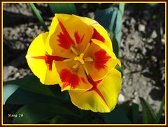 Tulipe de mon jardin, Tulip of my garden