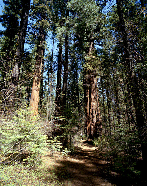 Mighty Forests of the Sierra