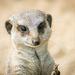 Meerkat (7)