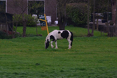 Horse pretending to be a cow