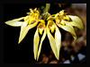 Bulbophyllum Annandalei สิงโตอนันดา