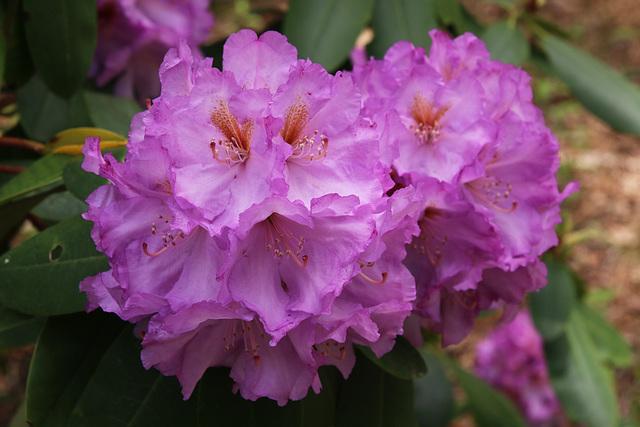 Purple ruffles