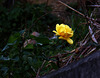 rosa di gennaio