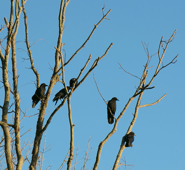 Crow caw-nclave