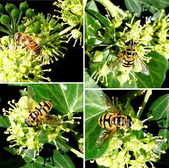 Collage Schwebfliegen (Syrphidae). ©UdoSm