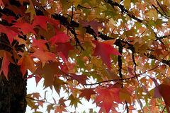 L'automne des liquidambars !