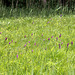 Wilde Orchideen - Knabenkräuter