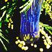 La saison du mimosa