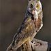 Portrait Long-eared owl