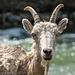 Bighorn Sheep / Ovis canadensis