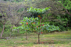 Dominican Republic, Few and Rare Red Leaves ...