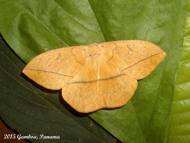 P101G Lonomia columbiana