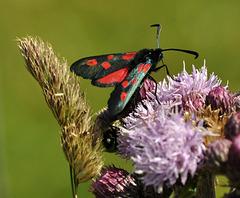 red black mothDSC 2475