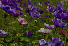 anemone in my garden