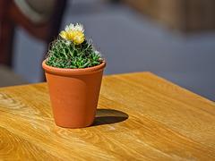 A Pot of Cactus